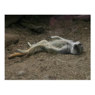 Sunbathing Meerkat Postcard
