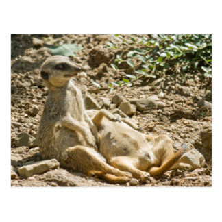 Sunbathing Meerkats Postcard