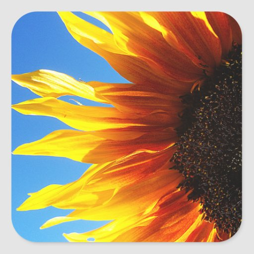 Sunflower Aflame Square Stickers