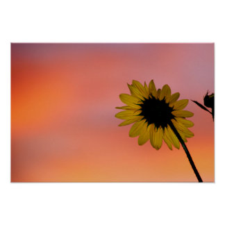 Sunflower at Dawn Poster