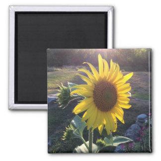 Sunflower at Sunset --- Square Magnet