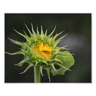 Sunflower Bud Photo Print