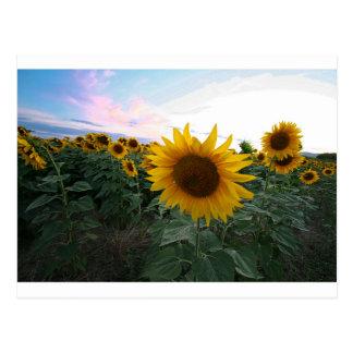Sunflower Closeup Postcard