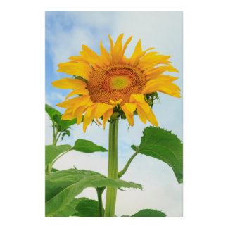 Sunflower, community garden, Moses Lake, WA, USA Poster