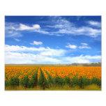 Sunflower Fields - Photo Enlargement