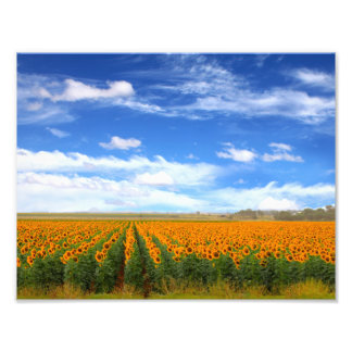 Sunflower Fields - Photo Enlargement
