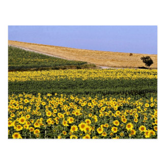 Sunflower fields, Tuscany, Italy  flowers Postcard