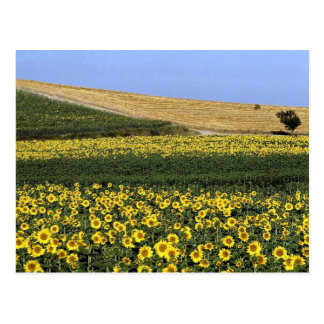 Sunflower fields, Tuscany, Italy Postcard