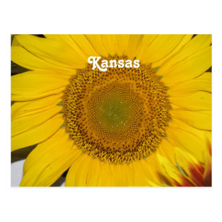Sunflower in Kansas Postcard