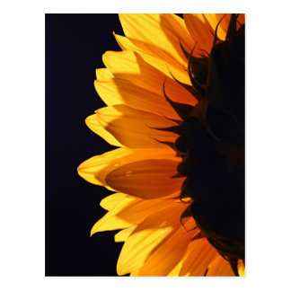 Sunflower in studio 4 postcard