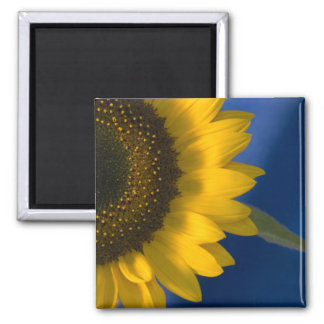 Sunflower on Blue Magnet