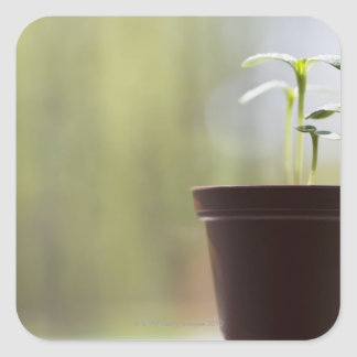 Sunflower plants sprouting in pot square sticker