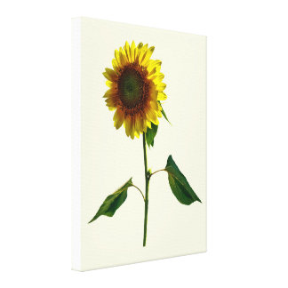 Sunflower Standing Tall Canvas Print