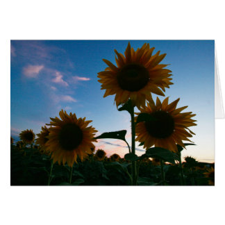 Sunflower Trio Sunset Tuscany Italy Card