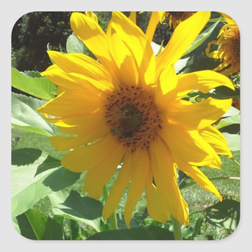 Sunflower with Bees Square Sticker
