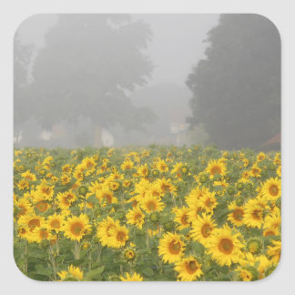 Sunflowers and Mist Square Sticker