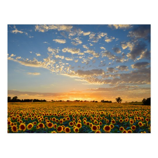 Sunflowers at Sunset Postcard