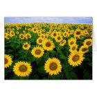 Sunflowers Greetings Card