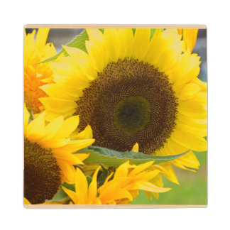 Sunflowers in Bloom Maple Wood Coaster