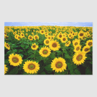 Sunflowers in Fargo, north Dakota Sticker