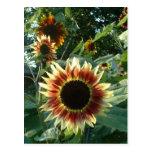 Sunflowers in the Sun Postcard