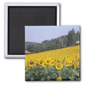 Sunflowers, magnet