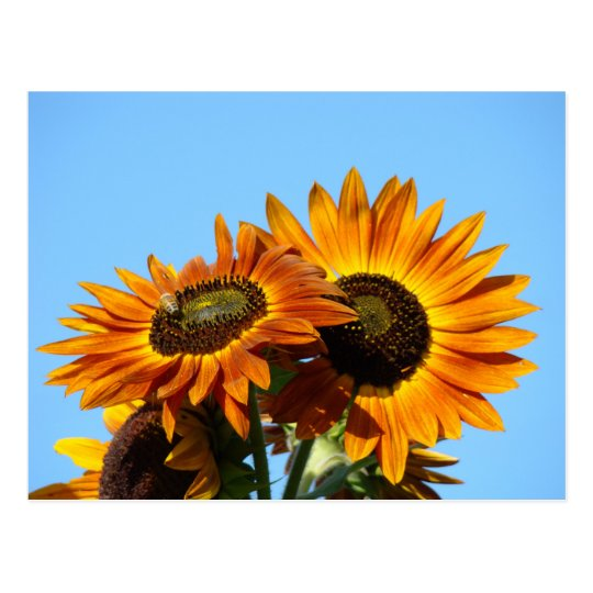 SUNFLOWERS SUN FLOWERS POST CARDS POST CARD