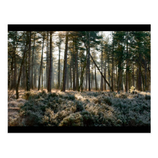 Sunlight shining through forest with frost postcard