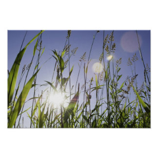 Sunlight through grass poster