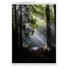 Sunlight Through The Redwood Trees Card