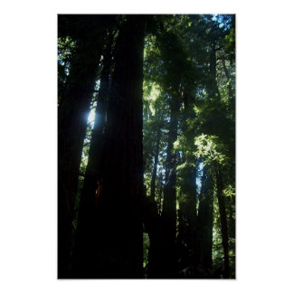 Sunlight through the Redwoods Poster