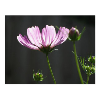 Sunlit Purple Cosmos Postcard
