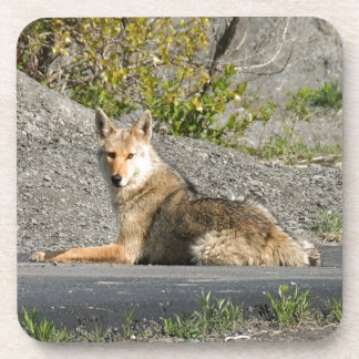 Sunning Coyote Coasters