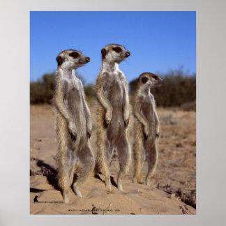 Sunning meerkats - Poster