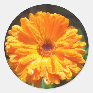 Sunny Calendula Raindrops Classic Round Sticker
