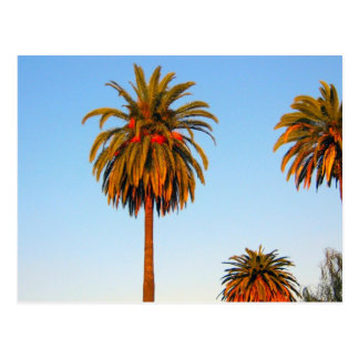 Sunny California Palm Trees Postcard