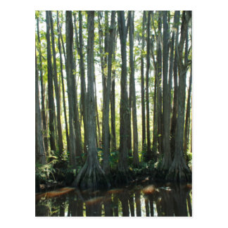 Sunny Cypress Postcard