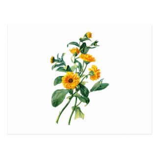 Sunny Marigolds Drawn From Nature Postcard
