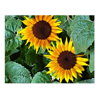 Sunny Sunflowers Postcard