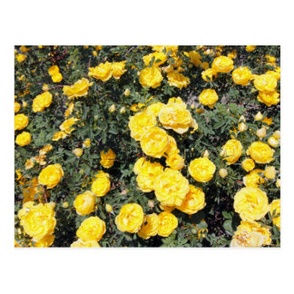 Sunny Yellow Rose Flowers Bus Postcard