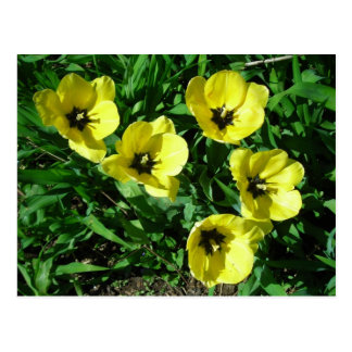 sunny yellow tulips postcard