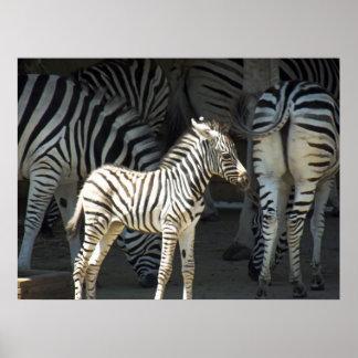 Sunny Zebra Poster
