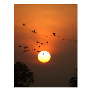 Sunrise with flocks of flying cranes postcard