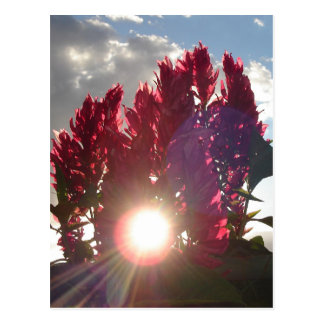 Sunset Flame Flowers Postcard