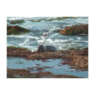 Sunset Lit Harbor Seal I at San Diego Canvas Print