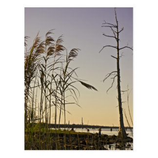 Sunset on Louisiana Swamp Postcard