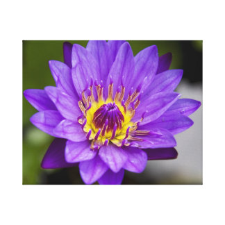 Super Purple Water Lily Canvas Print