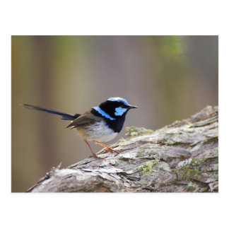 Superb Fairy-wren Postcard