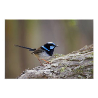 Superb Fairy-wren Poster