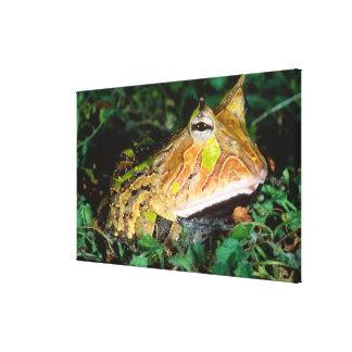 Surinam Horn Frog, Ceratophrys cornuta, Native Canvas Print